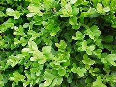 Think, that Buxus microphylla var japonica morris midget And