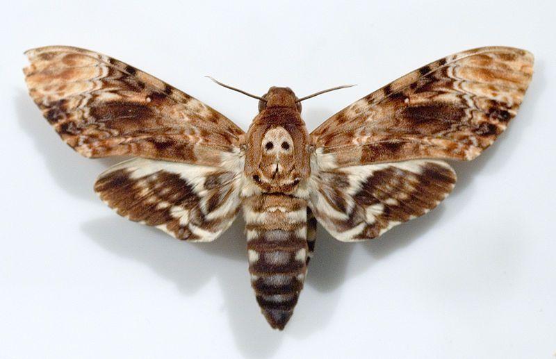 Beelzeub Colorful Moths Moth Tattoo Deaths Head Moth