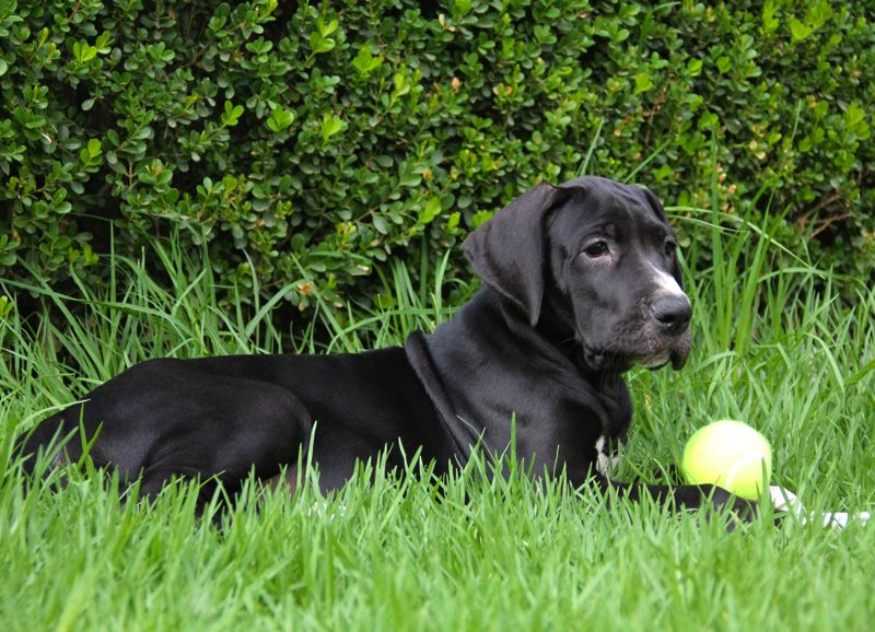 Gran danes great dane labrador retriever dogs