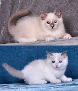 Ragdoll Price Personality Lifespan Baby Cats Ragamuffin Cat All Cat Breeds