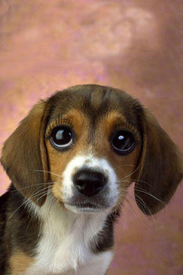 Look at the puppy eyes!! Cute beagles, Beagle dog