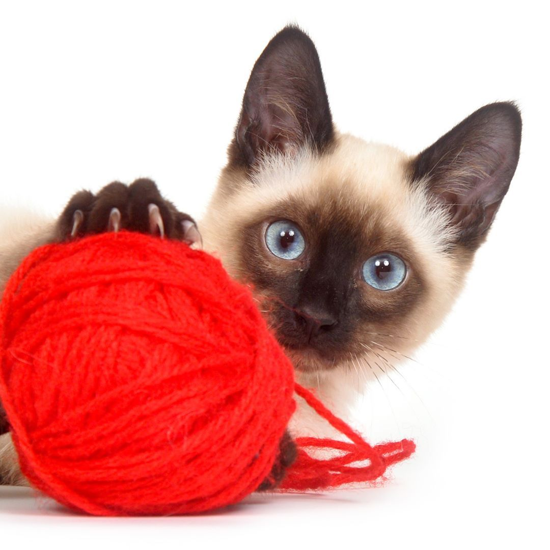 A Siamese Kitten With Yarn Cats Kittens Felines Jumping Pet