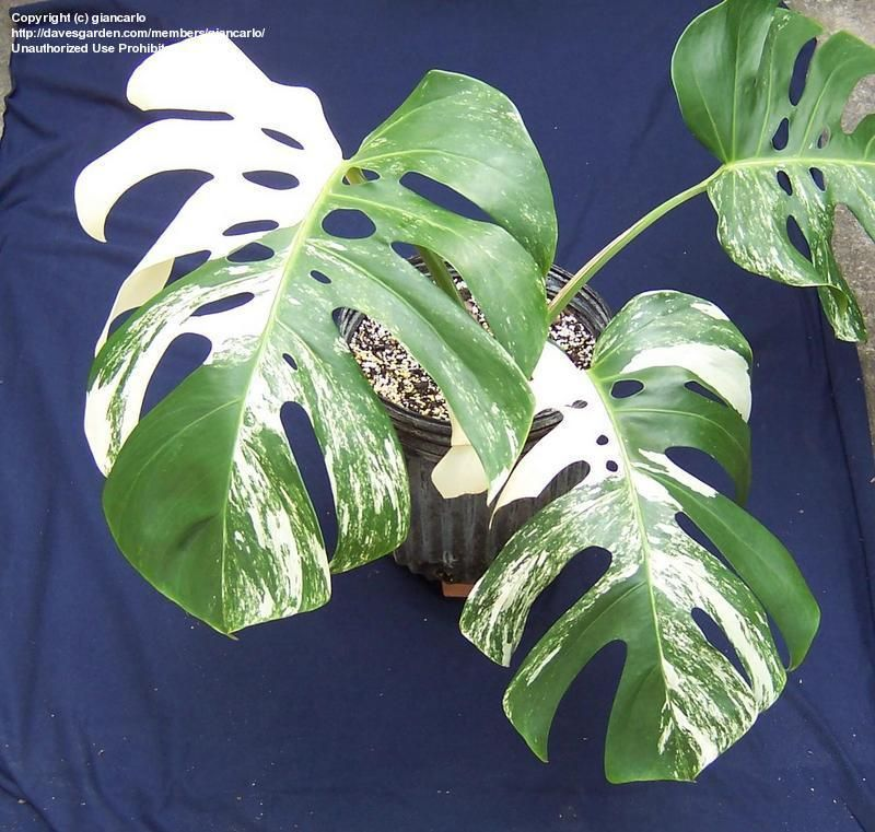 full size picture of variegated split leaf philodendron albo variegata monstera deliciosa