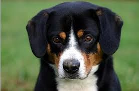 Image Result For Swiss Saint Mix Mountain Dog Breeds Entlebucher Mountain Dog Mountain Dogs