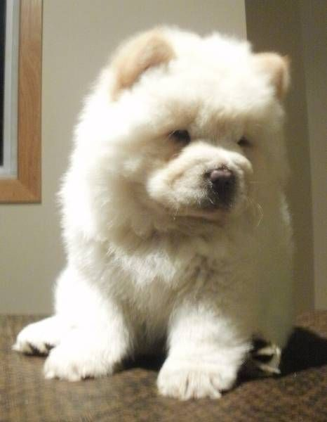 What A Cutie Cream Chow Chow Baby Dogs Big Dogs Cute Animals