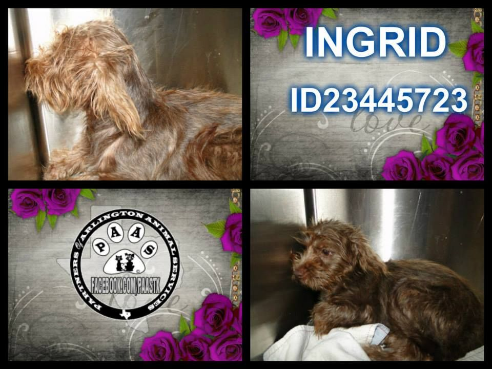 50 00 Adoption Fee Through Aug 15 Available For Adoption Ingrid 409h Id23445723 4 Mo Old Terrier Mix Chocolate White Bi Color Unaltered Female 7 0 Lb Mit Bildern
