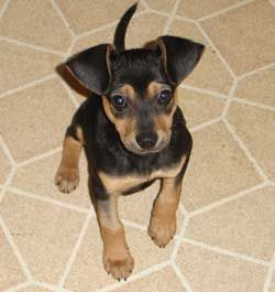 Miniature Pinscher Mix Photos And Information Coco Pinterest