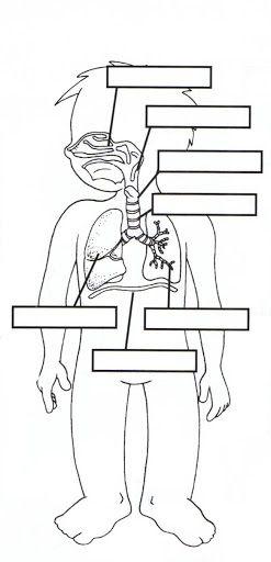 Respiratorio Jpg 247 512 Cuerpo Humano Para Ninos Aparatos