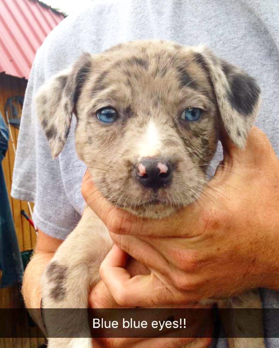 Pin On Australian Shepherd Mixed Dogs Hybrid Puppies
