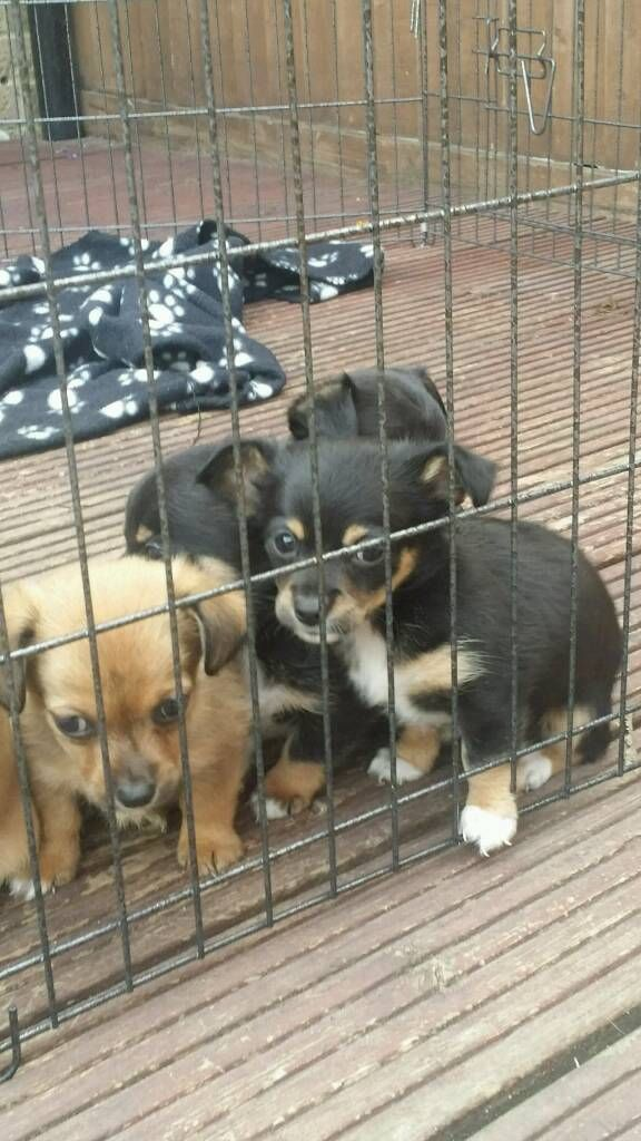Jack Dash Puppies Puppies Jack Russell Doggy
