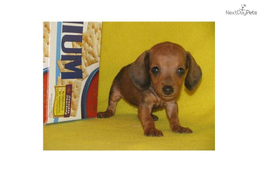 Red Female Dachshund Mini Puppies Dachshund Puppies For Sale