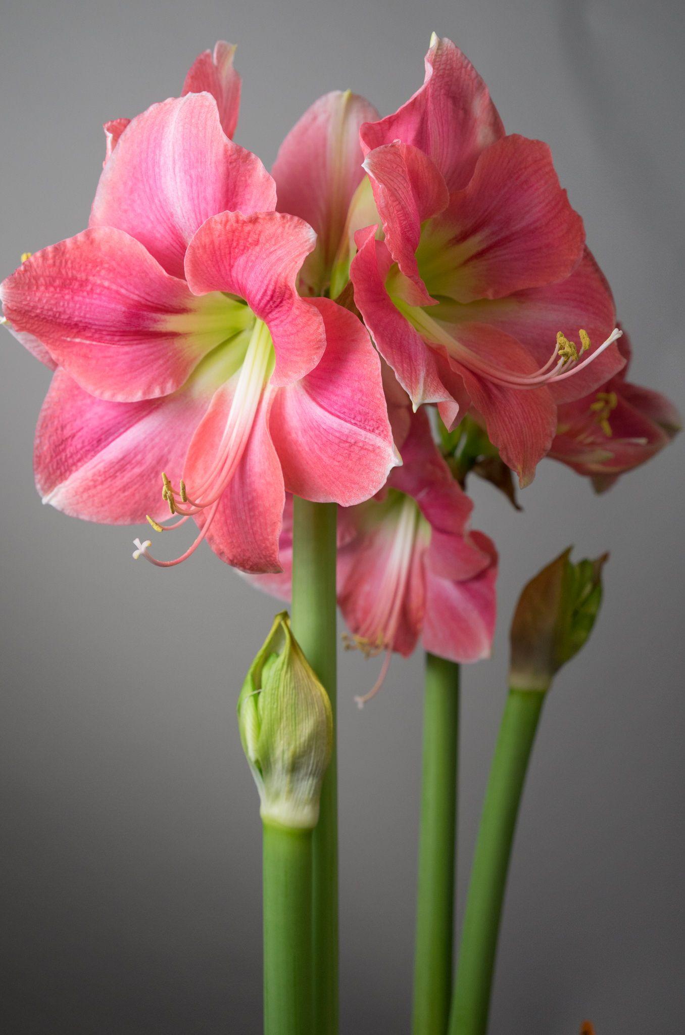 Amaryllis Bulbs Item 7074 Rosalie For Sale Amaryllis Bulbs Amaryllis Flowers Amaryllis