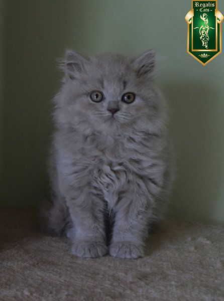 Registered British Shorthair Blue And Lilac Kittens Also One Lilac Longhair Boy Kedi