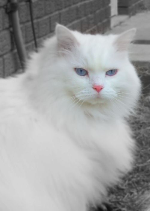 Pictures Of Domestic Long Hair Cat Breed Cat Breeds Fancy Cats Cats