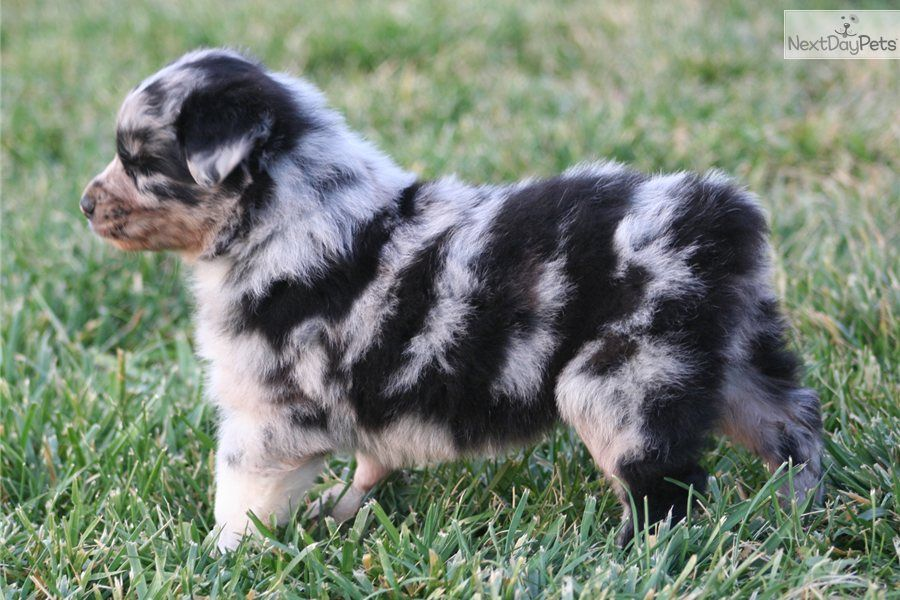 Australian Shepherd For Sale Australian Shepherd For Sale Australian Shepherd Aussie Puppies