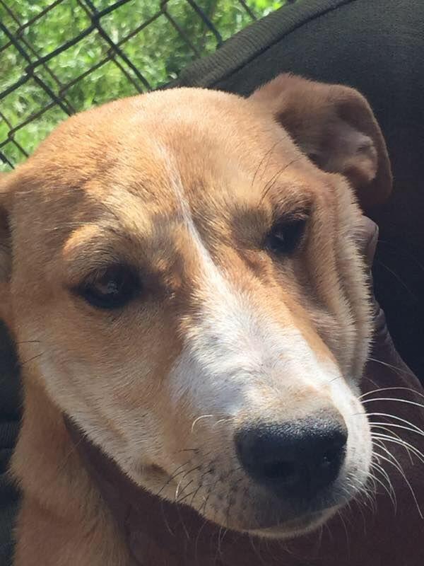 Pharaoh Hound dog for Adoption in NYC, NY. ADN-555712 on ...
