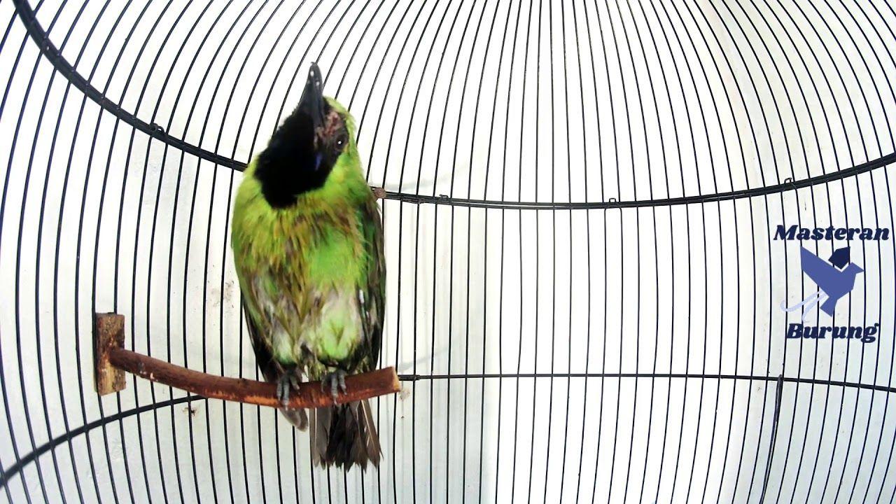 Cucak Ijo Mini Gacor Full Isian Burung