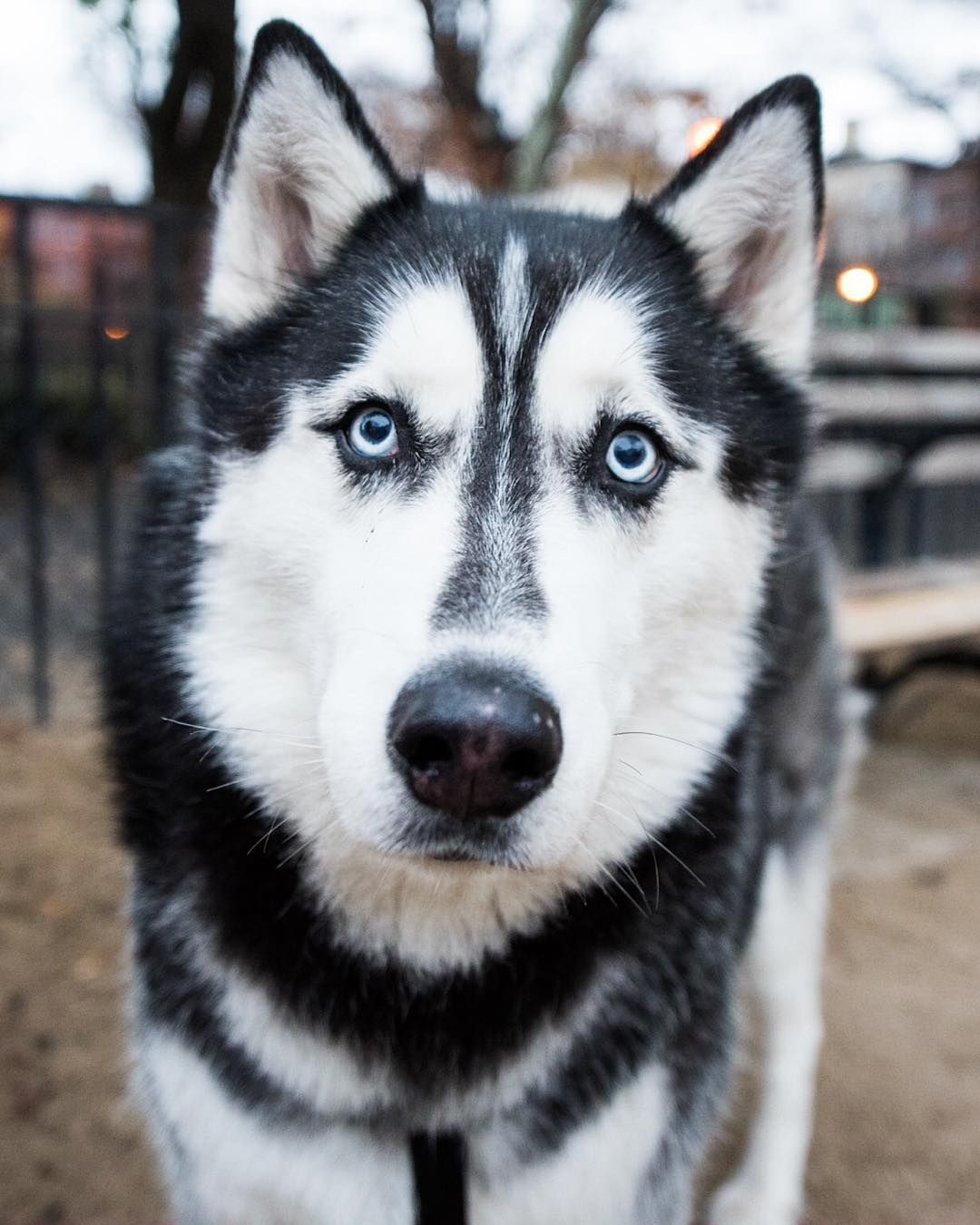 Charlie Siberian Husky 10 Y O Tompkins Square Park New York Ny