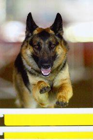 Trommel S Born To Fly Solo German Shepherd Corgi Dogs
