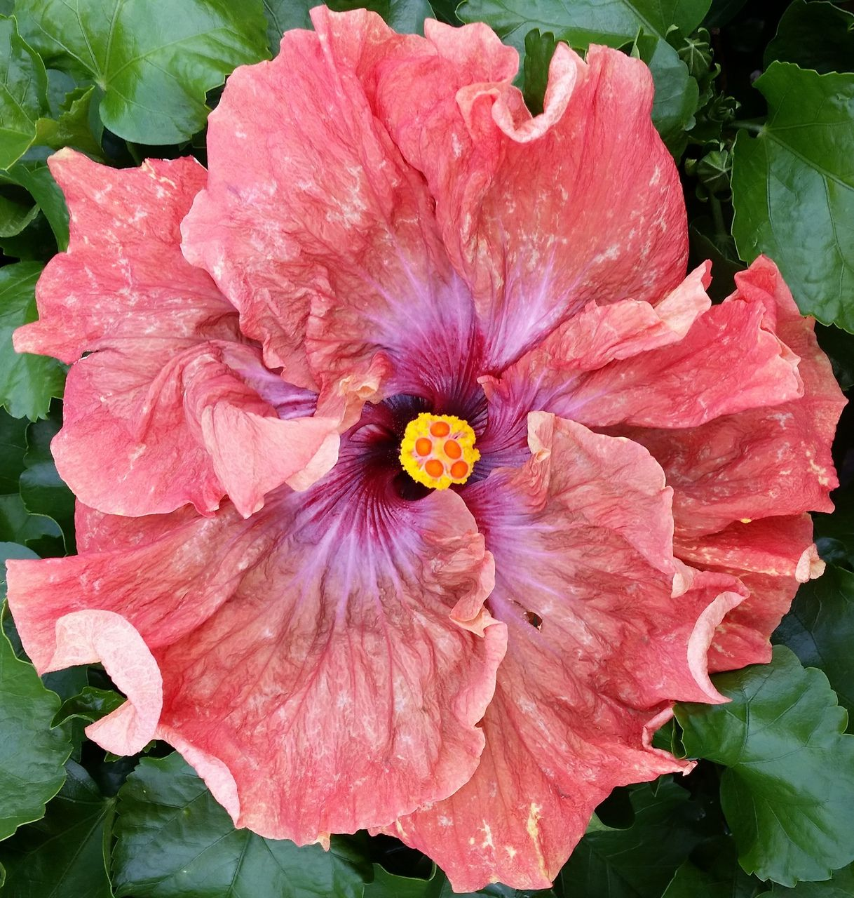 Tsunami hibiscus | Hibiscus, Flowers and Gardens