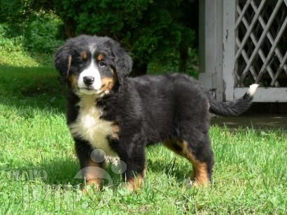 Bernese Mountain Dog Puppies Breed Information Mountain Dog Breeds Bernese Mountain Dog Puppy Puppies