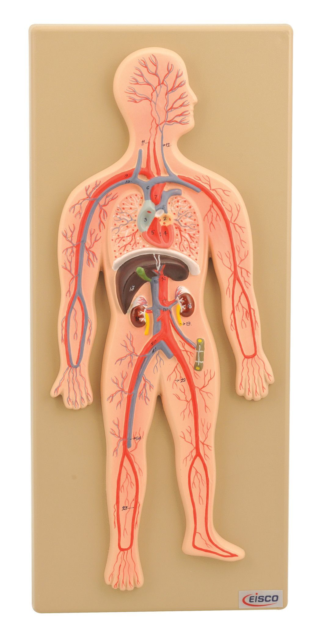 Eisco Labs Human Circulatory System Model, Hand Painted | Pinterest ...