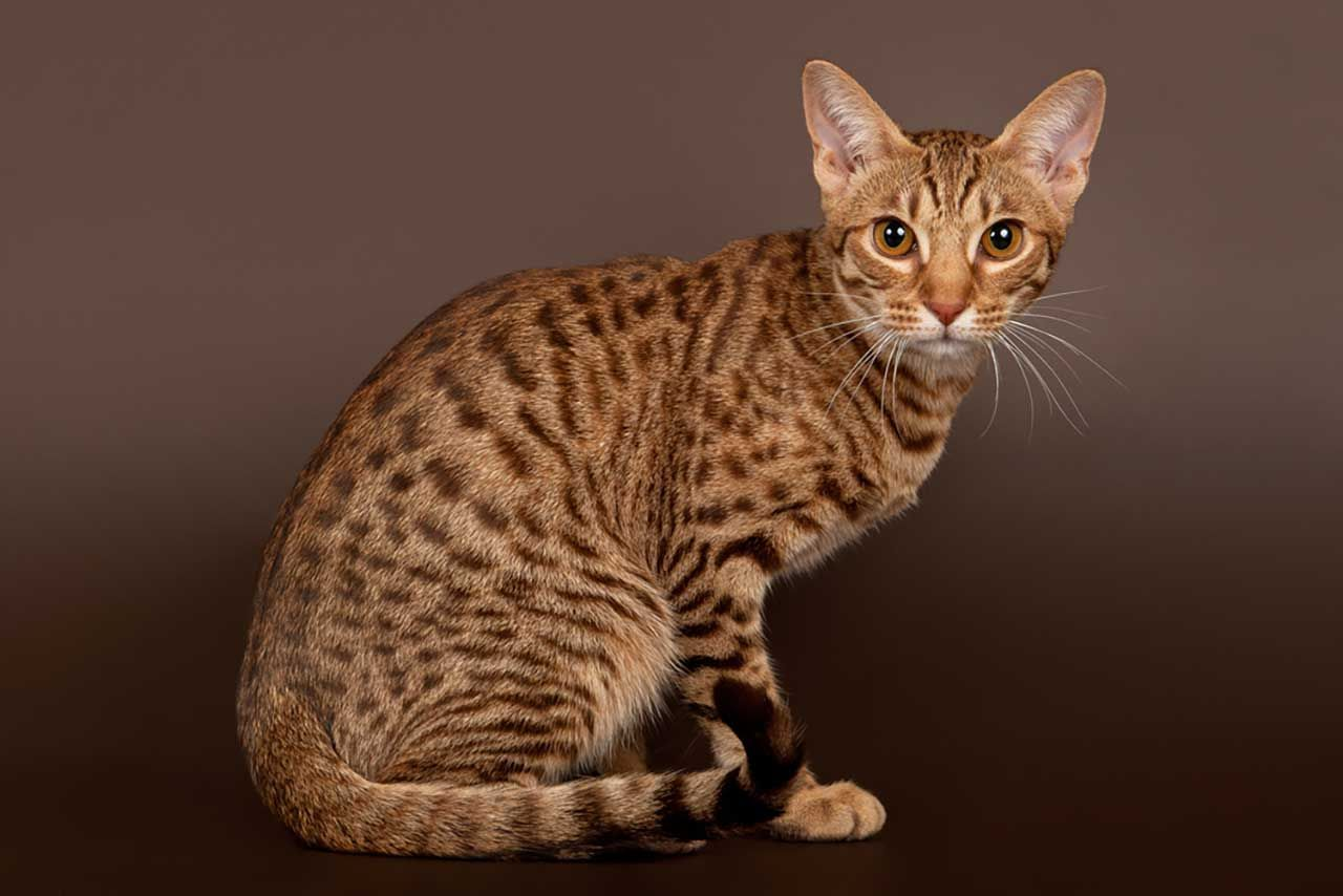 Bengal Cat Names 200 Ideas For Naming Your Male Or Female Bengal Cat Bengal Cat Names Bengal Kitten