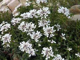 Risultati immagini per iberis fioritura invernale
