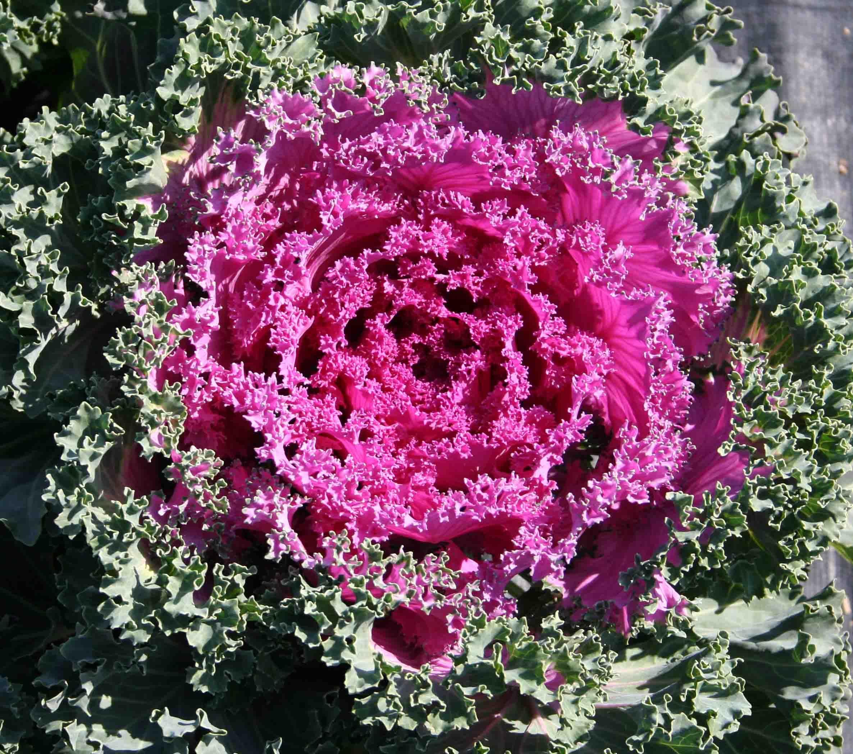 Planting Kale In Pots: Flowering Kale, Red Kale, Ornamental Kale