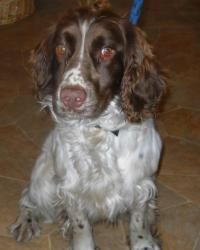 Adopt Buddy On English Springer Spaniel English Springer Spaniel Dog