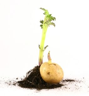 Did You Know That Growing Patio Potatoes Is Simple? Hereu0027s How: 1. Acquire