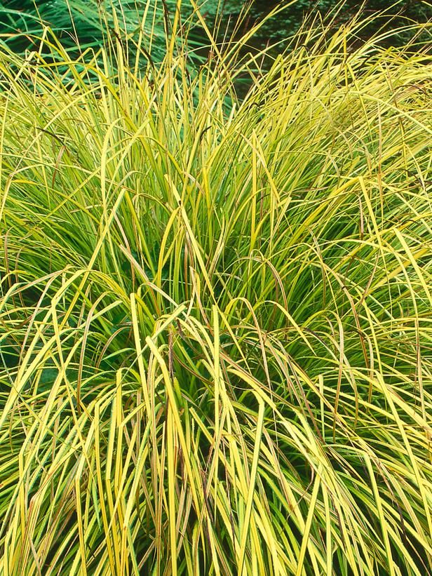 Identifying plant types evergreen grasses and gardens for Kinds of ornamental grasses