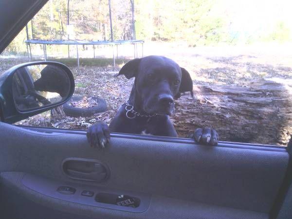 From Craigslist Dog Found In Woodruff Sc Woodruff Black Lab Dog Found Call 864 308 5906location Woo No Kill Animal Shelter Black Labs Dogs Animal Shelter