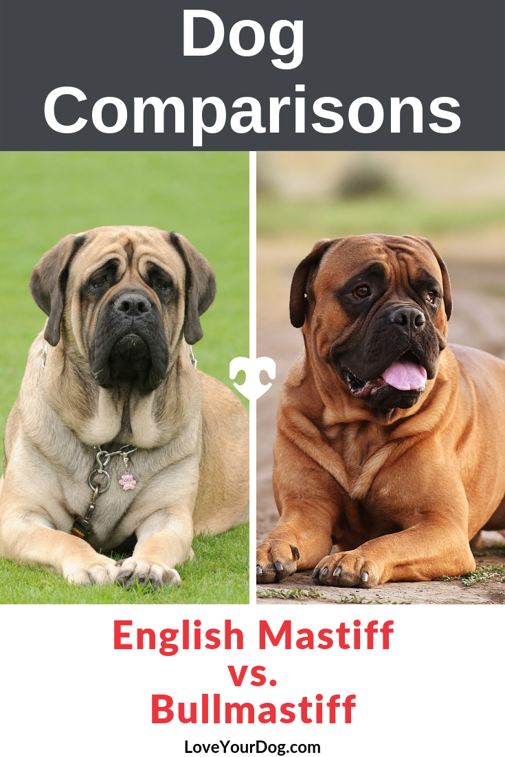 The English Mastiff Vs The Bullmastiff How Are They Different Bull Mastiff Dogs Mastiff Puppies English Mastiff Puppies