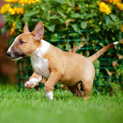 Bull Terrier Dog Breed Information Mini Bull Terriers Miniature