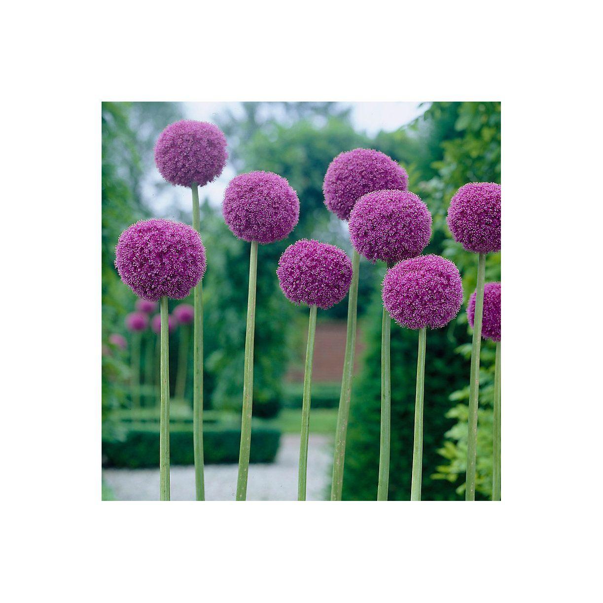 Allium Giganteum Bulbs With Images Allium Flowers Allium Giganteum