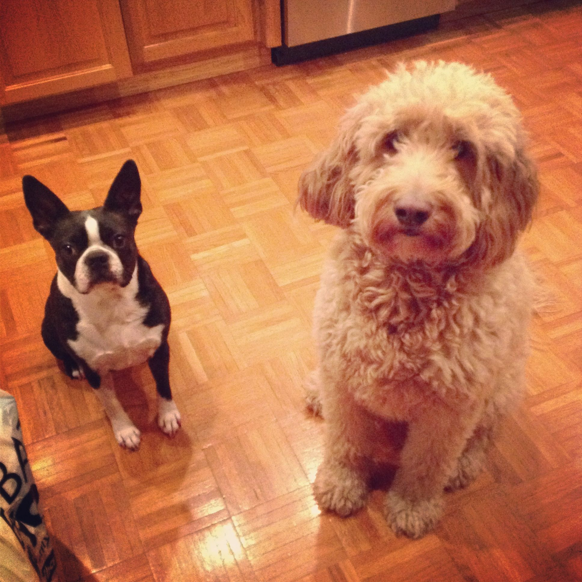 Boston Terrier And Goldendoodle Doodle Puppy Goldendoodle Boston Terrier