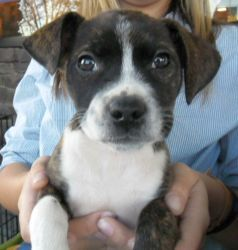 Adopt Chloe On Rat Terriers Rat Terrier Mix Terrier Mix Dogs