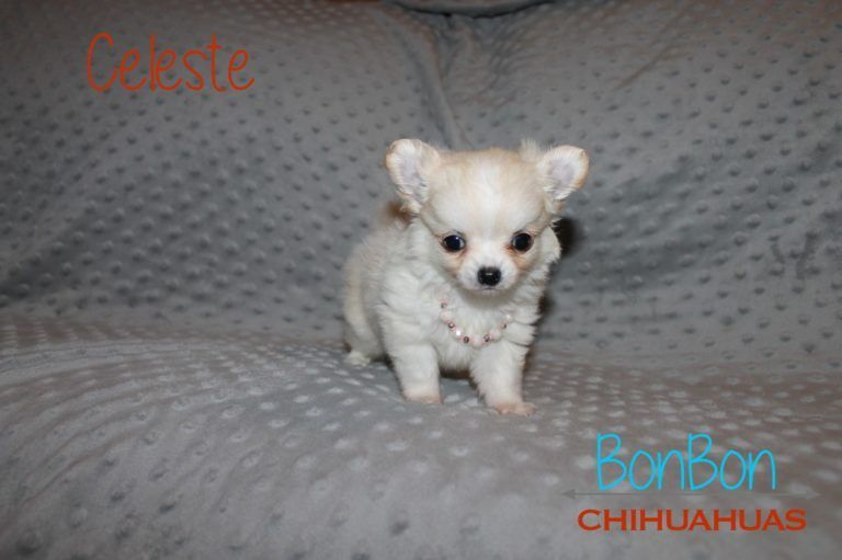 Chihuahua Puppy Celest Chihuahua Puppy Celeste Chihuahua Puppies Cute Chihuahua Chihuahua Puppies For Sale
