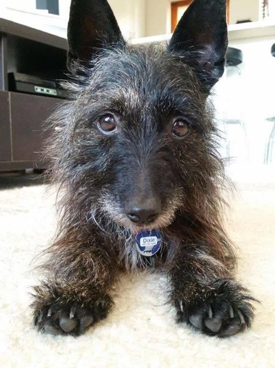 Dixie Is A 5 Year Old Female Cairn Terrier Cross Looking For A Good Home She Is In Stellenbosch At The Moment Mixed Breed Dogs Cairn Terrier Dog Breeds