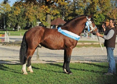 South-German Coldblood stallion Nian