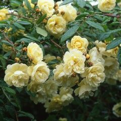 Aglaia - David Austin Roses Aglaia Category Climbing and Rambler Roses (Rambler Roses) Colour Apricot-yellow Flower Type Semi-double Hardiness Hardy Fragrance Fragrant Strong Repeating Some Apricot-yellow, paling to cream. Fragrant. 12ft.
