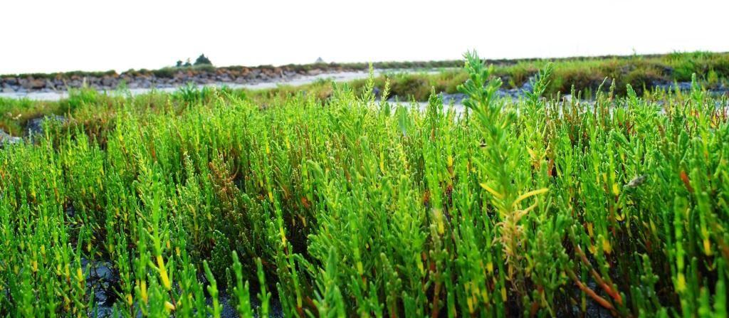Salicornia / Zeekraal