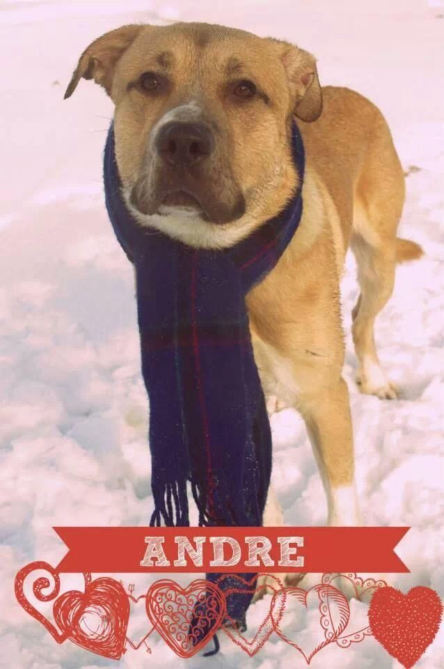 Adopt 102 Andre 2 Rescued On Adoption Big Dogs Pet Life