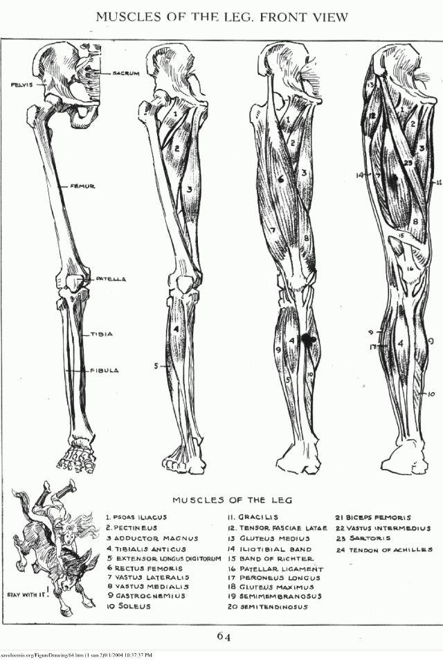 Leg muscles, back view/ músculos de la pierna. Vista trasera ...
