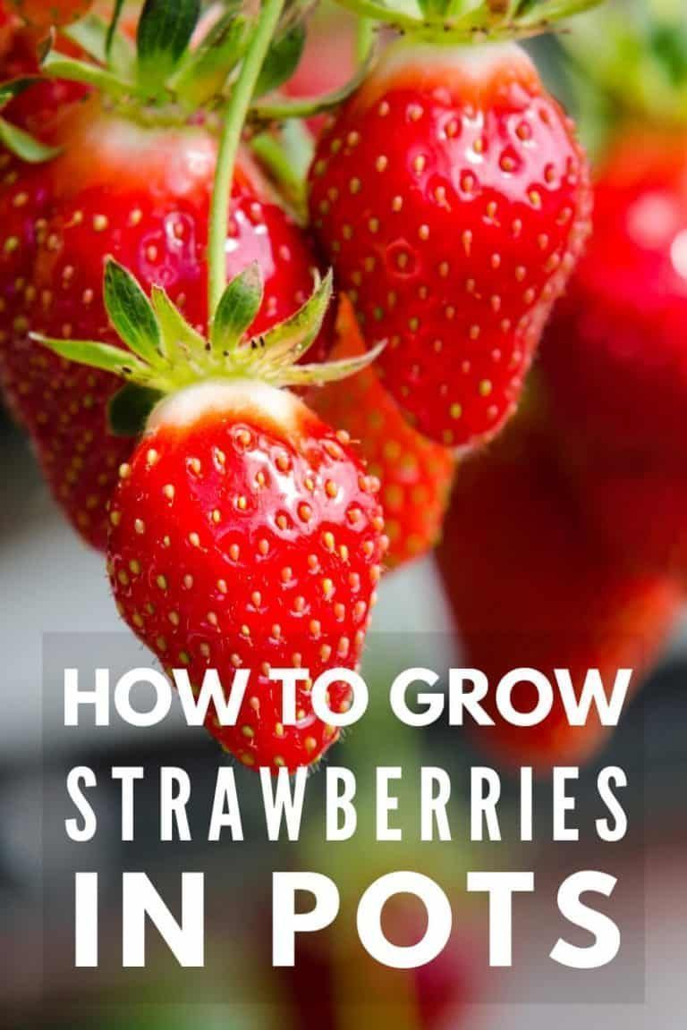 The Complete Guide To Growing Strawberries in Containers #growingstrawberriesincontainers Growing strawberries in containers is an easy way to enjoy fresh fruit even if you don't have a large yard. Read on and learn with complete how to steps for growing strawberries in containers. #growingstrawberriesincontainers The Complete Guide To Growing Strawberries in Containers #growingstrawberriesincontainers Growing strawberries in containers is an easy way to enjoy fresh fruit even if you don't have #growingstrawberriesincontainers