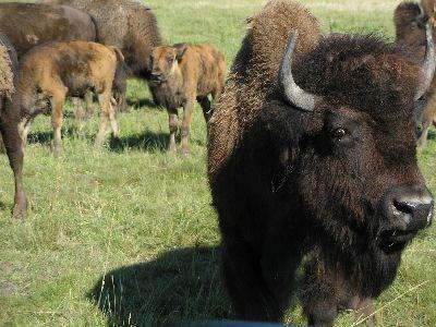 Bison Fort Whyte Alive Animal kingdom, Winnipeg, Tourism