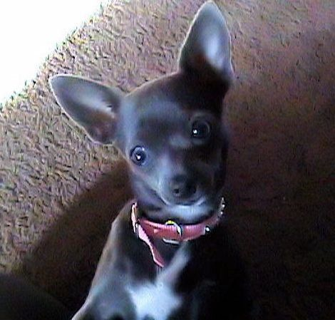 Blue Belle Apple Head Chihuahua Puppies For Sale Chihuahua