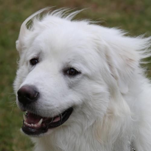 Ames Is An Adoptable Great Pyrenees Searching For A Forever Family