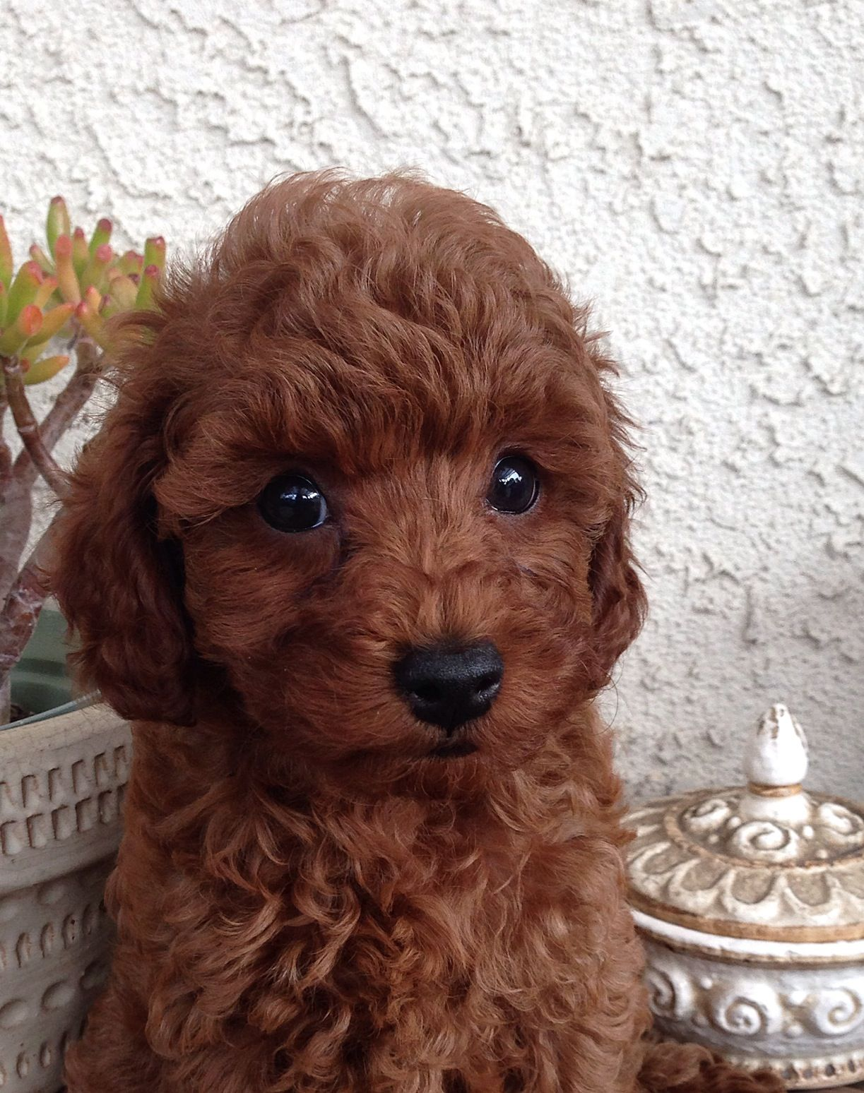 Cute Dark Red West Coast Poodles Poodle Puppy Poodle Dog Dogs